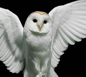 The white owl signifies inner knowledge, psychic ability, clarity, family, sacrifice and illumination