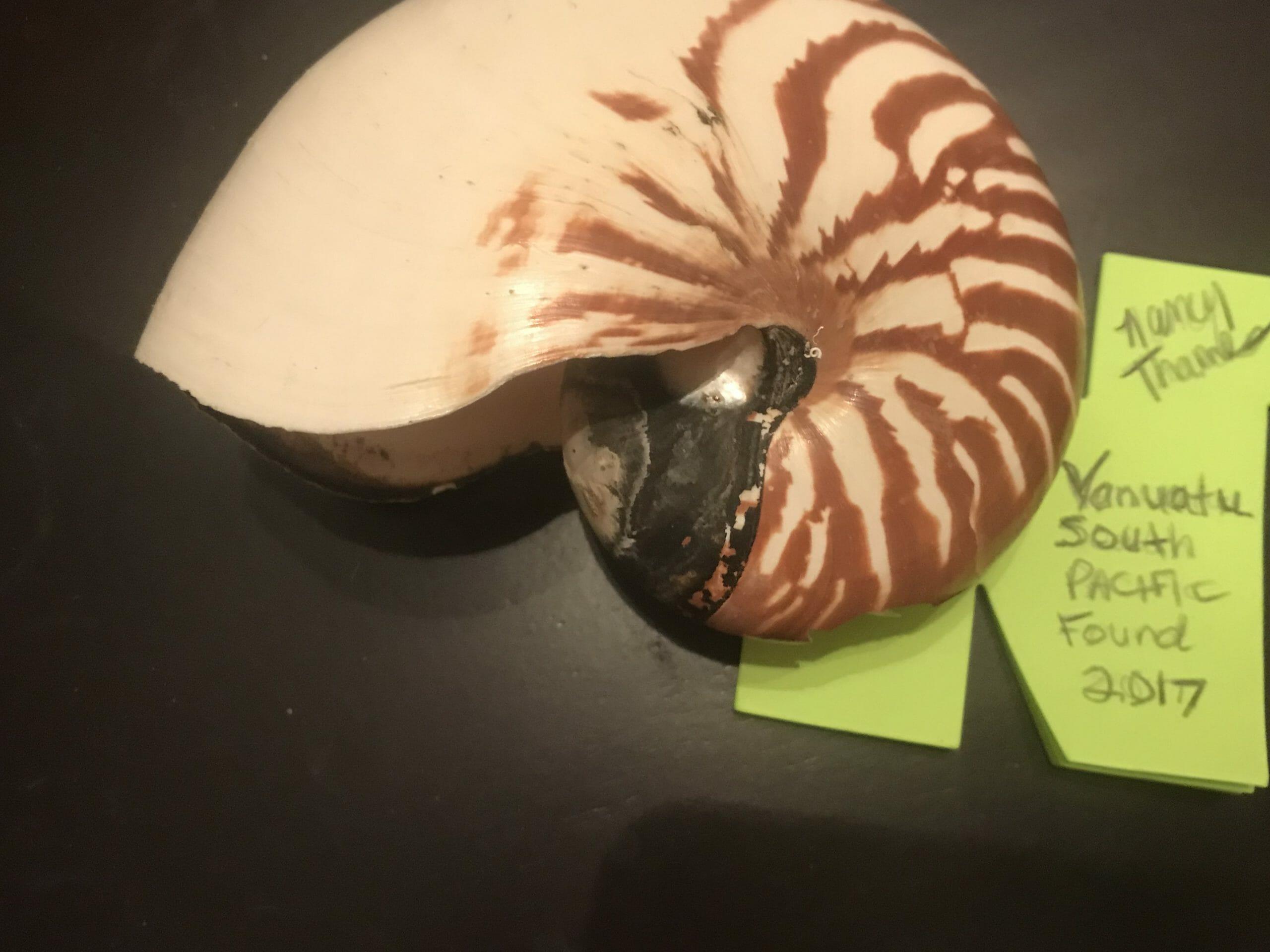 My Nautilus Shell found 2007 at Vanuatu